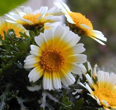 chrysanthemesunlight.jpg